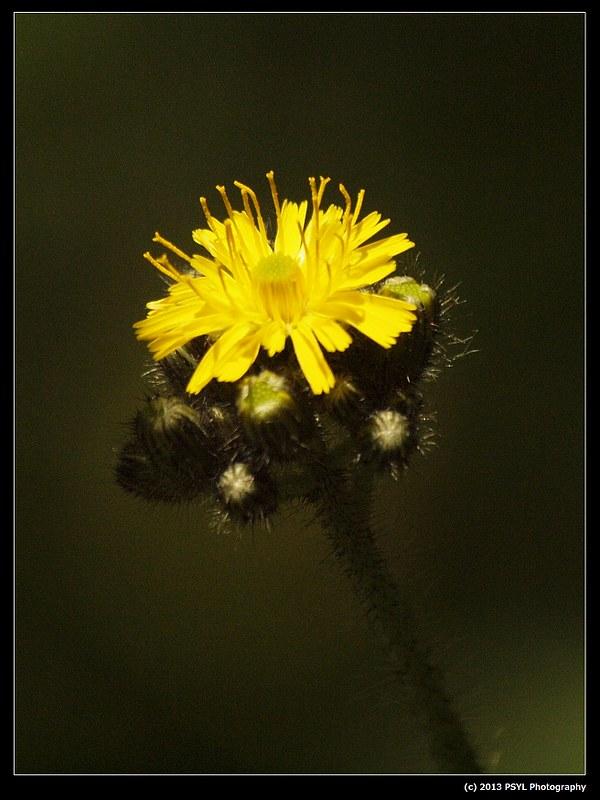 2013-06-03-P6032982-King-devil (Hieracium caepitosum)