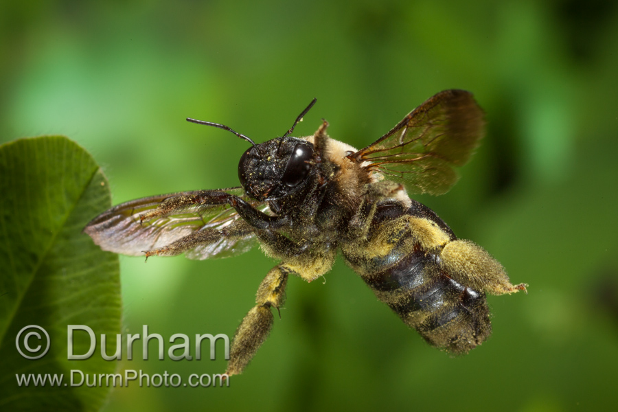 eastern carpenter bee (Xylocopa virginica)