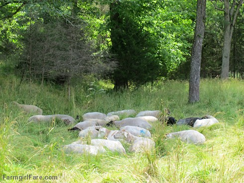 (32-2) Sea of snoozing sheep in the front field - FarmgirlFare.com