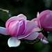 Magnolia. Campbellii.
