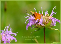 Orange Skipperling Roxborough State Park Colorado butterfly photography by Ron Birrell,  DSC_4437