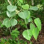 Ficus religiosa, Moraceae