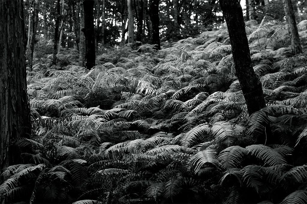 ferns|シダの大群|熊野古道
