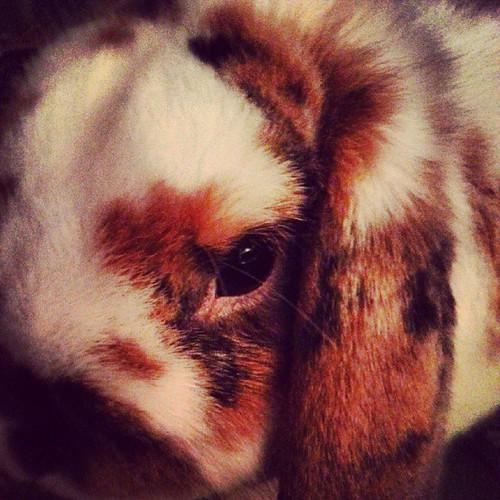 #lapin #nain #belier #chou #love #rabbit #bunny #bunnystagram #rabbitstagram #petstagram #pets #animal #animaux #animastagram #beauté #naturelle