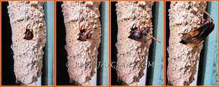 Potter wasp collage: a nymph emerging from the mud nest on August 29 2013