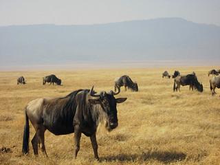 Gnus (Ngorongoro)