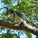 04. Geai à face blanche - Calocitta formosa - White-throated Magpie-Jay