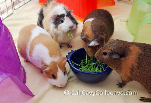 Guinea pig herd eating wheatgrass