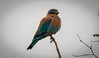 Indian Roller (Dumbonna) by SameeraMJ