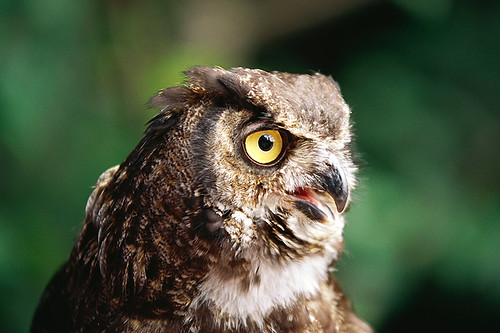 Wildlife in British Columbia, Canada: Great Horned Owl