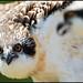 MD Osprey Chicks