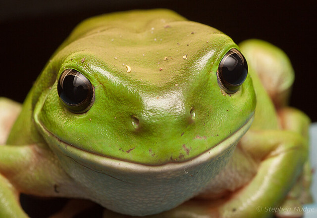 Green Tree Frog #3