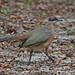 Red-capped Coua - Photo (c) Jerry Oldenettel, some rights reserved (CC BY-NC-SA)