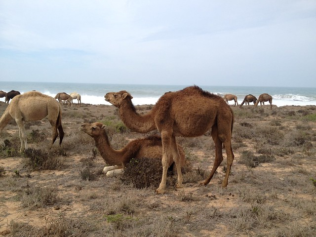 Moroccan camels by the beach