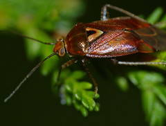 Mirid Bug (Lygus pratensis) - Photo of Le Ménil-Broût