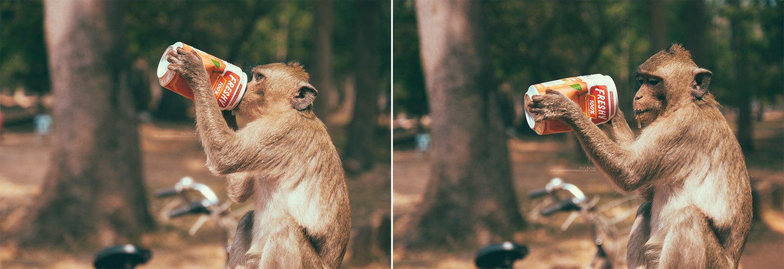 Wild macaques are so used to living with humans that this scene is a total norm in Siem Reap