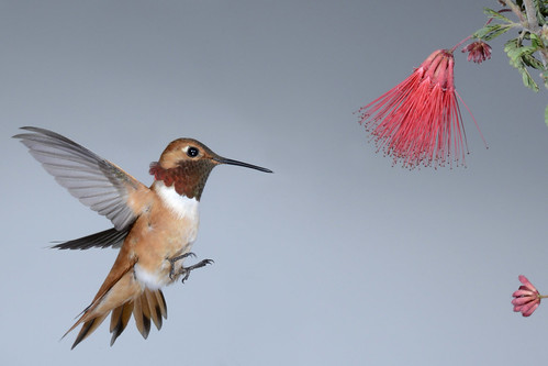 Rufous Male & Calliandra californica 928flp