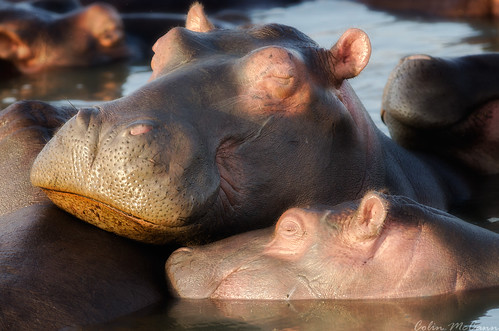 africa morning light sleeping saint st sunrise southafrica south lucia afrika hippo hippopotamus hippopotamuses