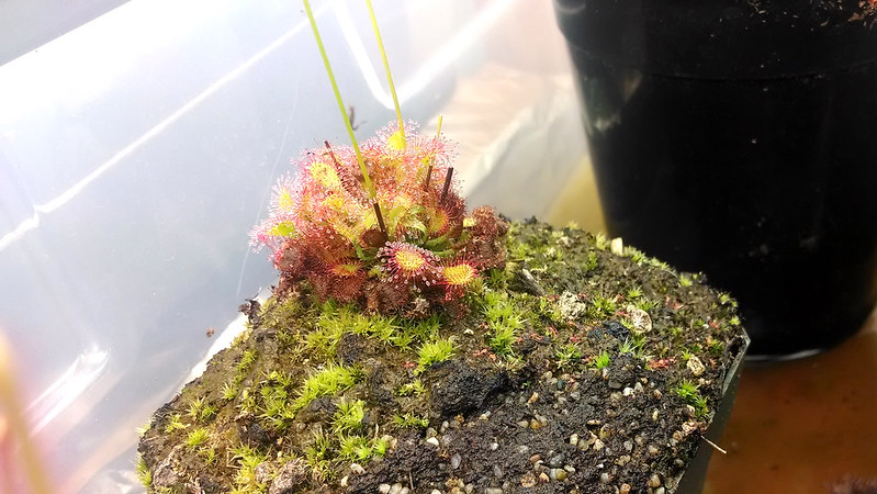 Drosera capillaris with Drosera capensis weedlings.