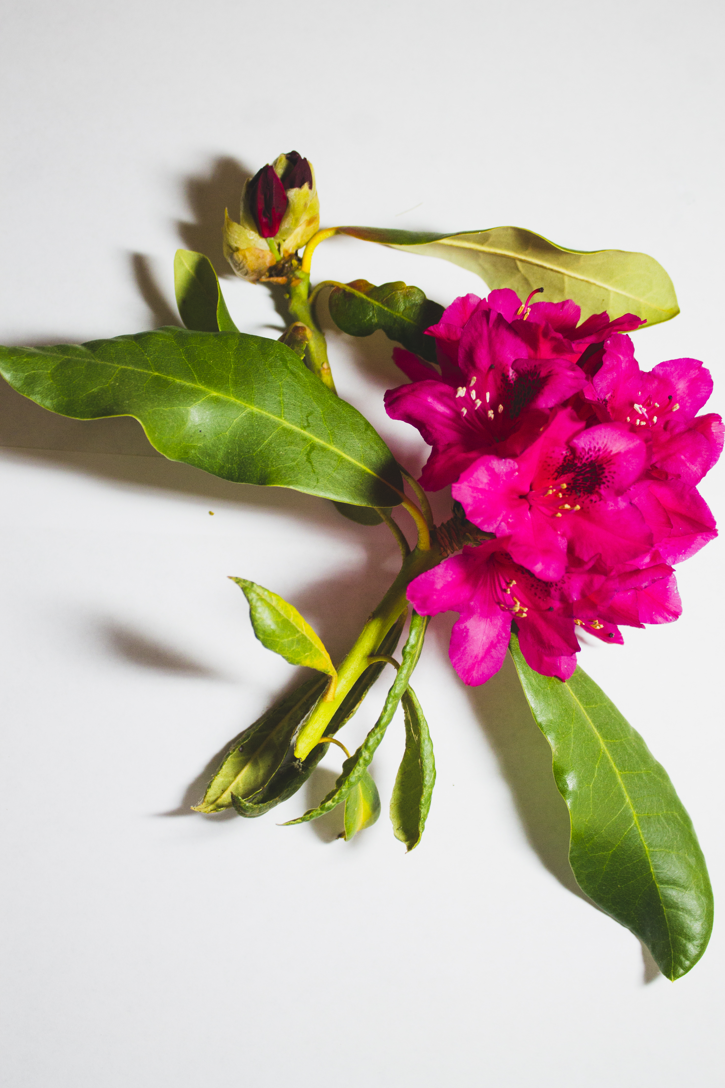 Project Botanical: Rhododendron