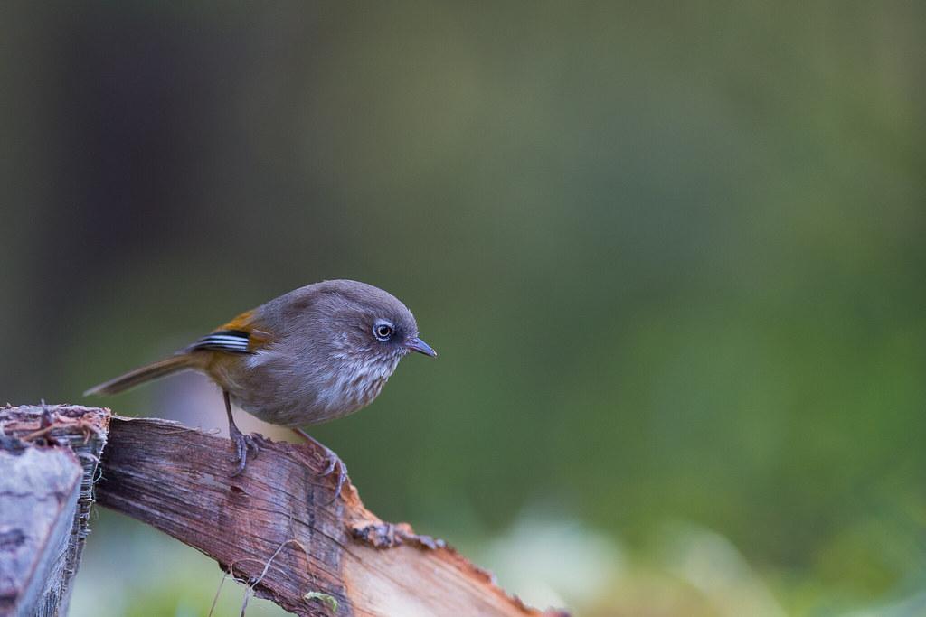 褐頭花翼-0048