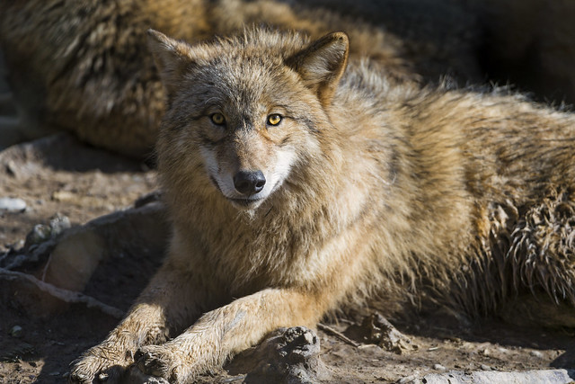 Young wolf posing in the sun
