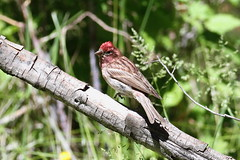 Finches, Crossbills, and Old World Sparrows