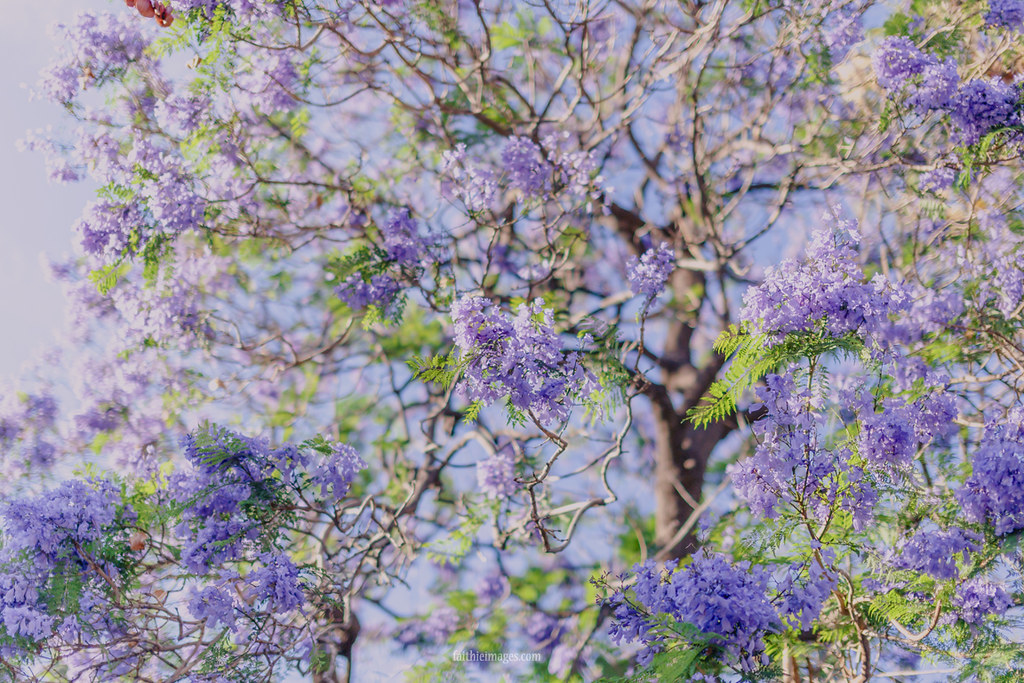 lilac jacaranda tree