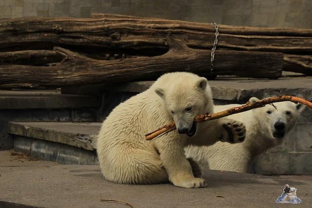 Eisbär Fiete im Zoo Rostock 11.07.2015  0197