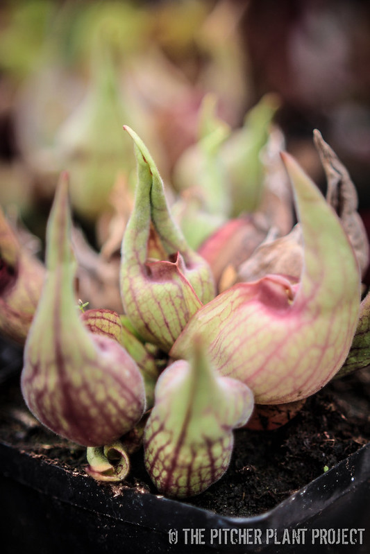 "Sarracenia purpurea ""Smurf"""