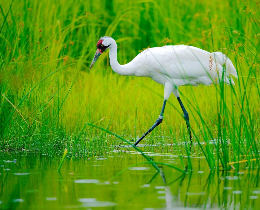 Whooping Crane (Grus americana)_4