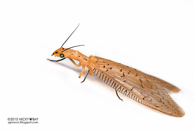 Dobsonfly (Corydalinae) - DSC_4465