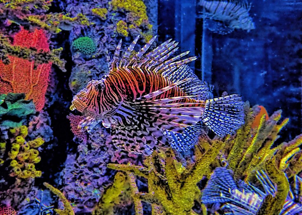 Lionfish --- Feuerfisch --- Pez León