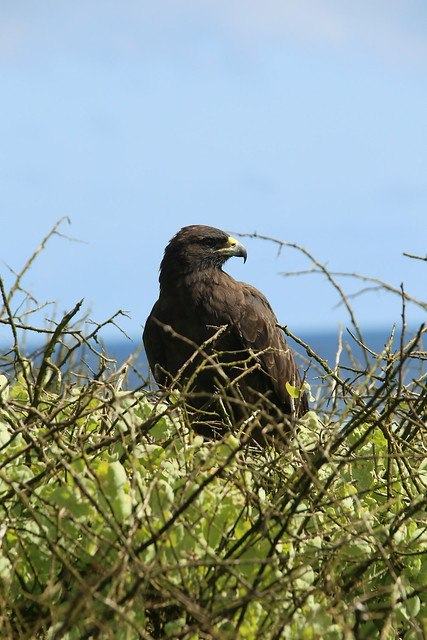 Galapagos Hawk.  Ecuador.