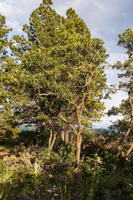 Gambel oak  pondarosa pineIMG_2240