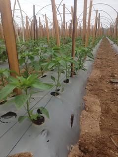 Honduras - Finca - Tres semanas después de sembradas