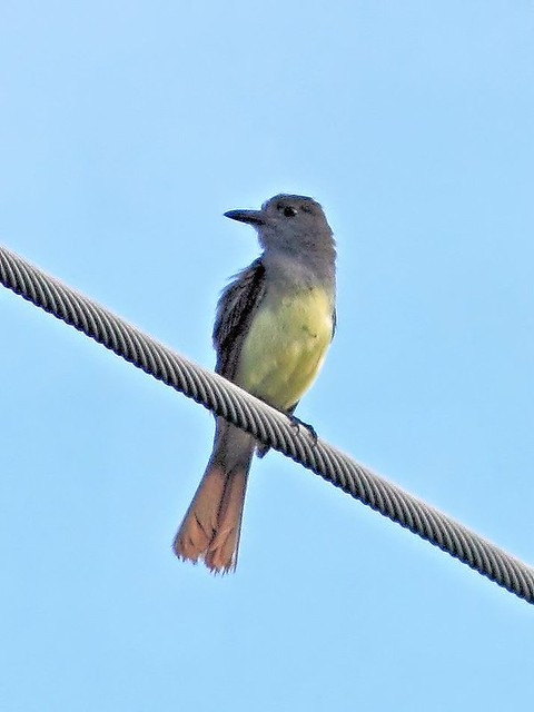 Great Crested Flycatcher 3-20130602