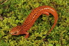 Black-Chinned Red Salamander by Mike D. Martin