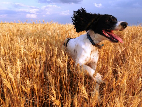 Augie dog running through the wheat