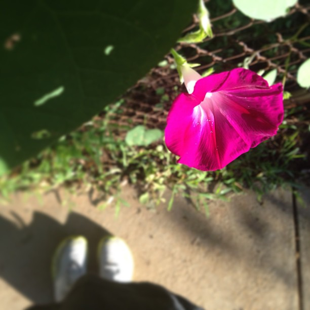 Morning, glory! #foundwhilerunning #nofilter    (#plankaday = :35 & :30)