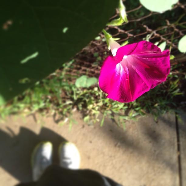 Morning, glory! #foundwhilerunning #nofilter    (#plankaday = :35 & :30)