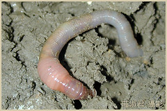 黃頸蜷蚓。(陳俊宏研究團隊提供,莊淑君攝)
