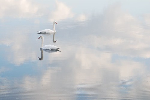 Swans Swim in the Sky by Get The Flick