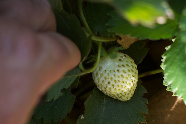 My Next Strawberry | Flickr - Photo Sharing!