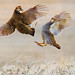 3rd Place - Published - Al Perry - Prairie Chickens Sparring - Audubon