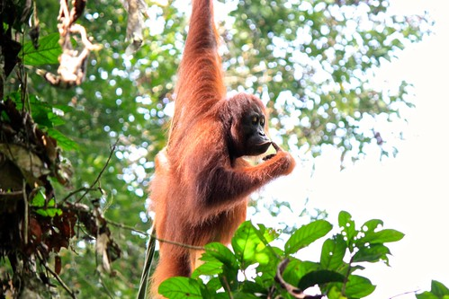 orangutan thought: should I have taken a to go bag?