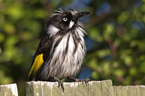 New Holland Honeyeater 2013-10-18 (_MG_2404)