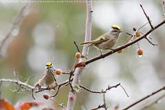 Birding in BC