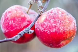 Frosty apples