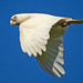 Little Corella in Flight by TheGreatContini